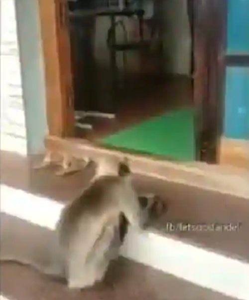 Chú khỉ bị thương đến tận bệnh viện để xin được giúp đỡ - ảnh 1