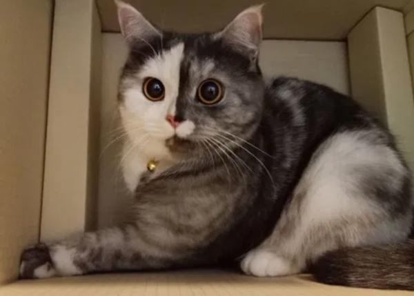 """Cục cưng mới của netizen: Chú mèo """"hai mặt"""" ở Thái đang khiến hội yêu mèo tan chảy - ảnh 2"""