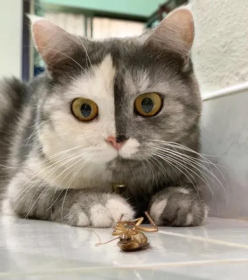 """Cục cưng mới của netizen: Chú mèo """"hai mặt"""" ở Thái đang khiến hội yêu mèo tan chảy - ảnh 3"""