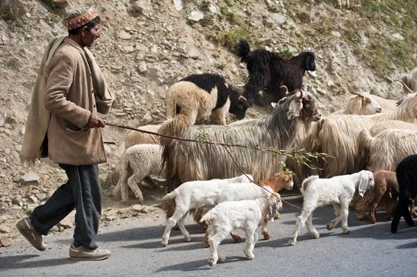 Người chăn gia súc dương tính với COVID-19, 50 con dê phải xét nghiệm và cách ly - ảnh 1