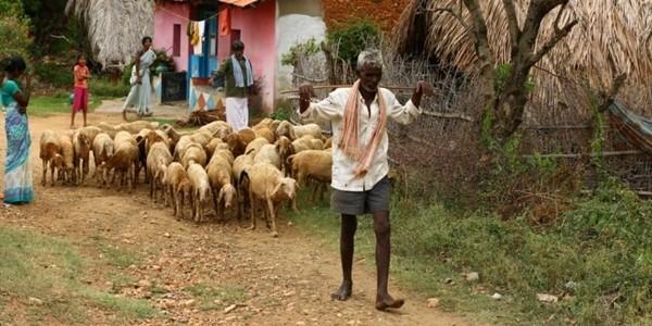 Người chăn gia súc dương tính với COVID-19, 50 con dê phải xét nghiệm và cách ly - ảnh 3