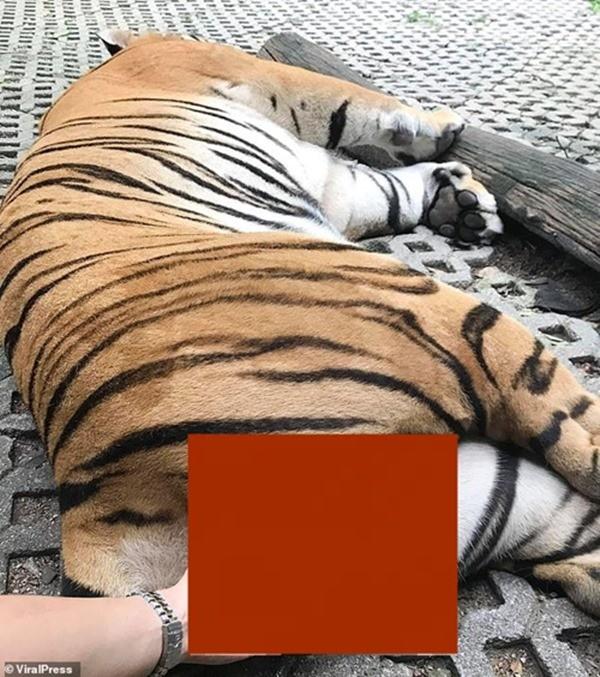 """Khách tham quan ở Thái chụp ảnh """"nhạy cảm"""" với hổ trong sở thú, bị chỉ trích gay gắt  - ảnh 1"""