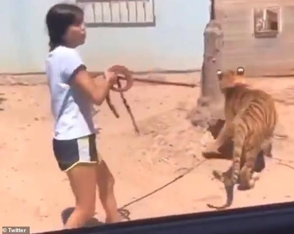 Người đi đường phát hoảng khi một cô bé dẫn hổ đi dạo, còn khoe ở nhà mình có con hổ nữa - ảnh 3