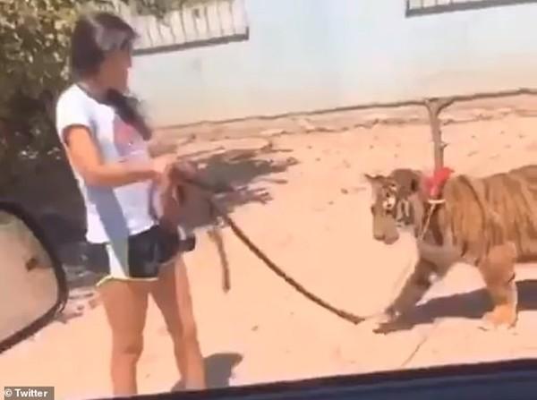 Người đi đường phát hoảng khi một cô bé dẫn hổ đi dạo, còn khoe ở nhà mình có con hổ nữa - ảnh 1
