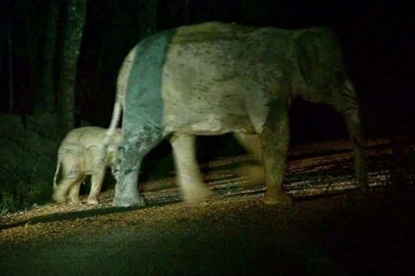 Chú voi con bị xe máy đâm khi sang đường, may gặp đúng bác sĩ thực hiện hồi sức tim phổi - ảnh 3