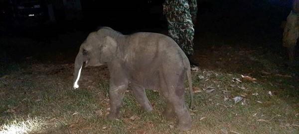 Chú voi con bị xe máy đâm khi sang đường, may gặp đúng bác sĩ thực hiện hồi sức tim phổi - ảnh 2