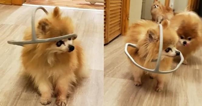 """Chú chó được chủ làm cho chiếc """"mũ bảo hiểm"""" kỳ lạ, nhưng ai cũng xúc động khi biết lý do - ảnh 1"""
