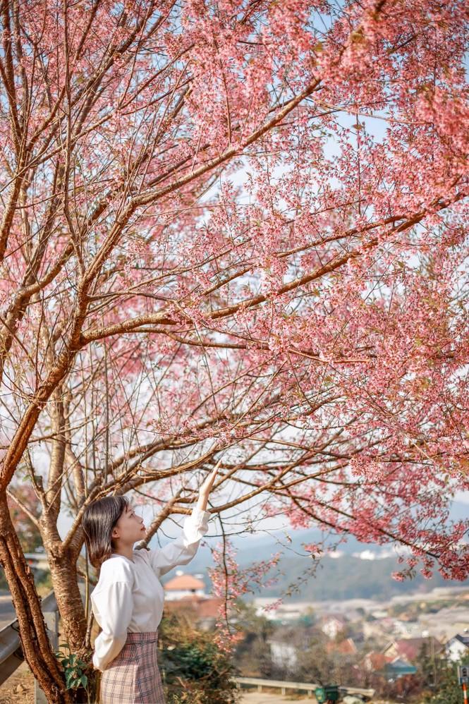 Đi đâu đón 2021? Mời bạn ghé thăm những con đường ngập tràn hoa anh đào ở Đà Lạt - ảnh 3