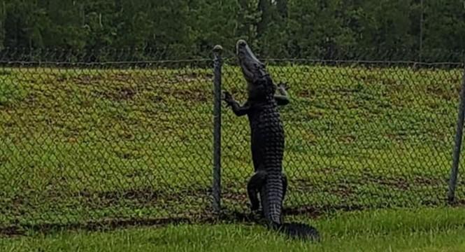 Cá sấu trèo rào 'đột nhập' căn cứ quân sự Mỹ - ảnh 1