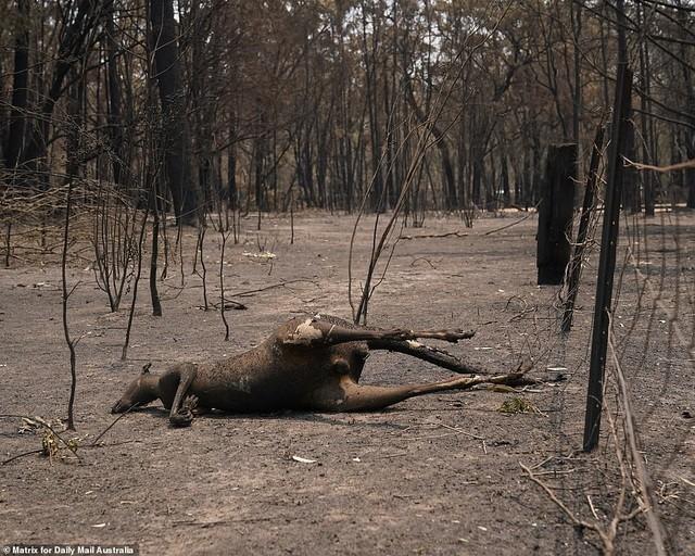 Gần nửa tỷ động vật có vú, chim và bò sát chết thảm trong vụ cháy rừng ở Úc - ảnh 3