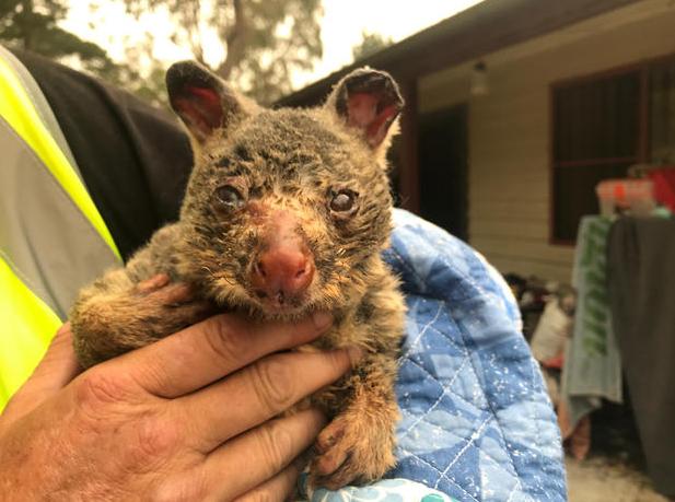Gần nửa tỷ động vật có vú, chim và bò sát chết thảm trong vụ cháy rừng ở Úc - ảnh 7