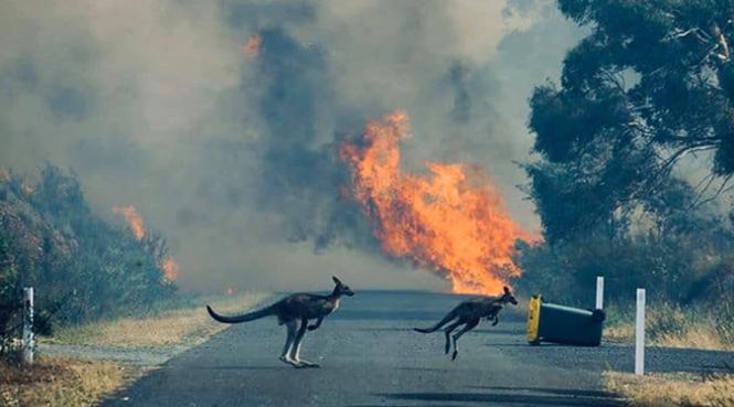 Gần nửa tỷ động vật có vú, chim và bò sát chết thảm trong vụ cháy rừng ở Úc - ảnh 4