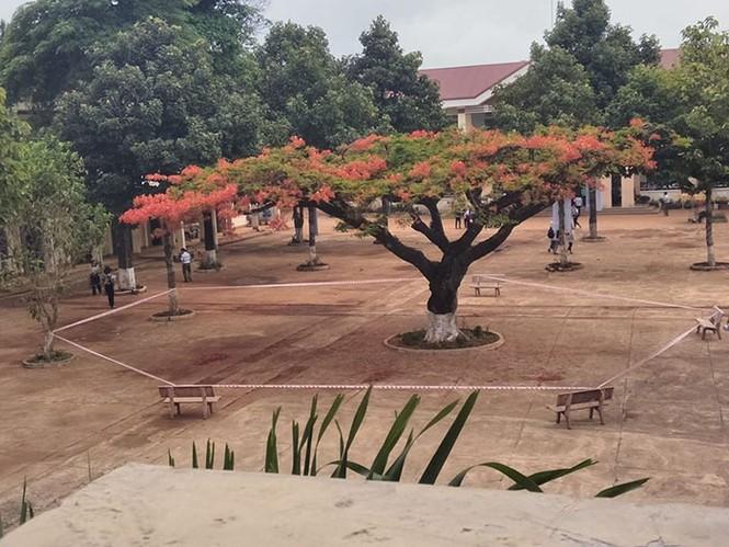 Cộng đồng mạng tranh cãi gay gắt về hình ảnh cây phượng bị niêm phong giữa sân trường - ảnh 1