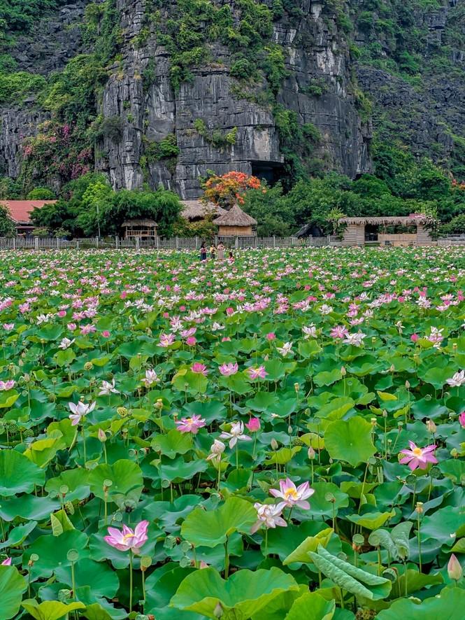 Ninh Bình sau dịch COVID-19: Đầm sen Hang Múa là điểm nhấn thu hút khách du lịch - ảnh 3
