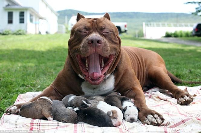 Choáng váng với đàn chó pitbull con giá 10 tỉ đồng - ảnh 3