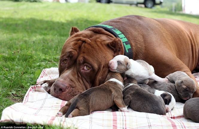 Choáng váng với đàn chó pitbull con giá 10 tỉ đồng - ảnh 2
