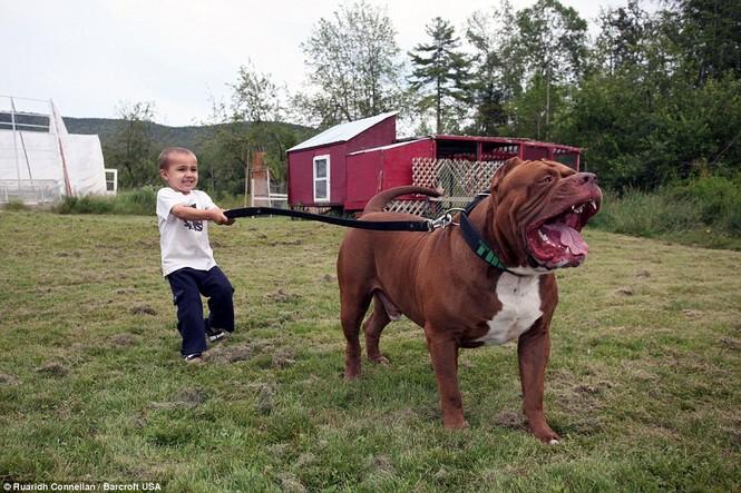 Choáng váng với đàn chó pitbull con giá 10 tỉ đồng - ảnh 5