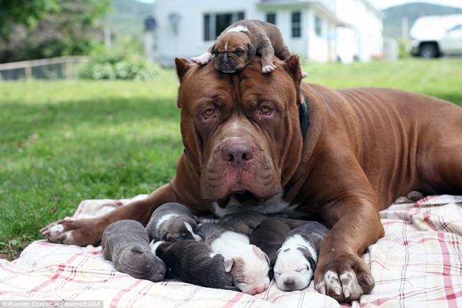 Choáng váng với đàn chó pitbull con giá 10 tỉ đồng - ảnh 1
