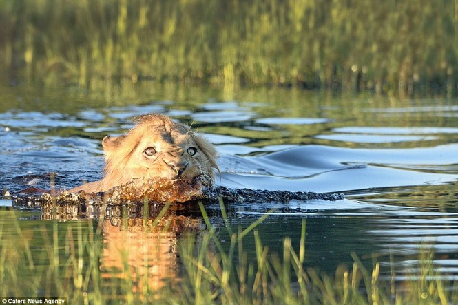 Bơi qua sông, sư tử hoảng sợ vì cá sấu vờn bên cạnh - ảnh 6