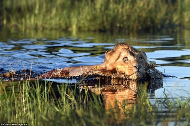 Bơi qua sông, sư tử hoảng sợ vì cá sấu vờn bên cạnh - ảnh 4