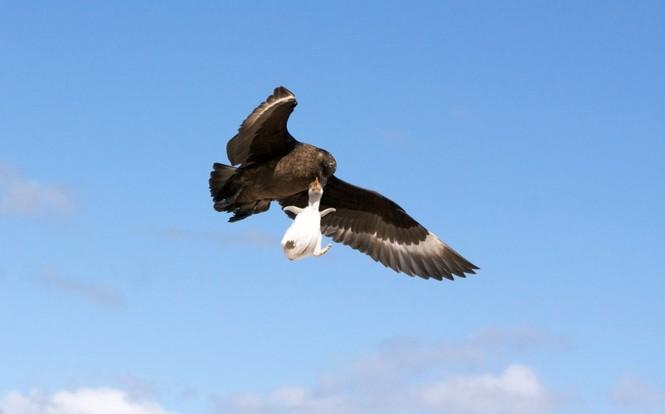 Sợ hãi chứng kiến chim cướp biển bắt cánh cụt làm mồi - ảnh 4