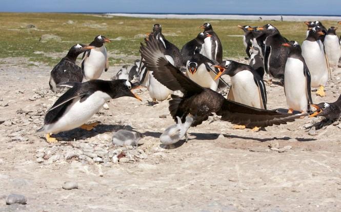 Sợ hãi chứng kiến chim cướp biển bắt cánh cụt làm mồi - ảnh 2