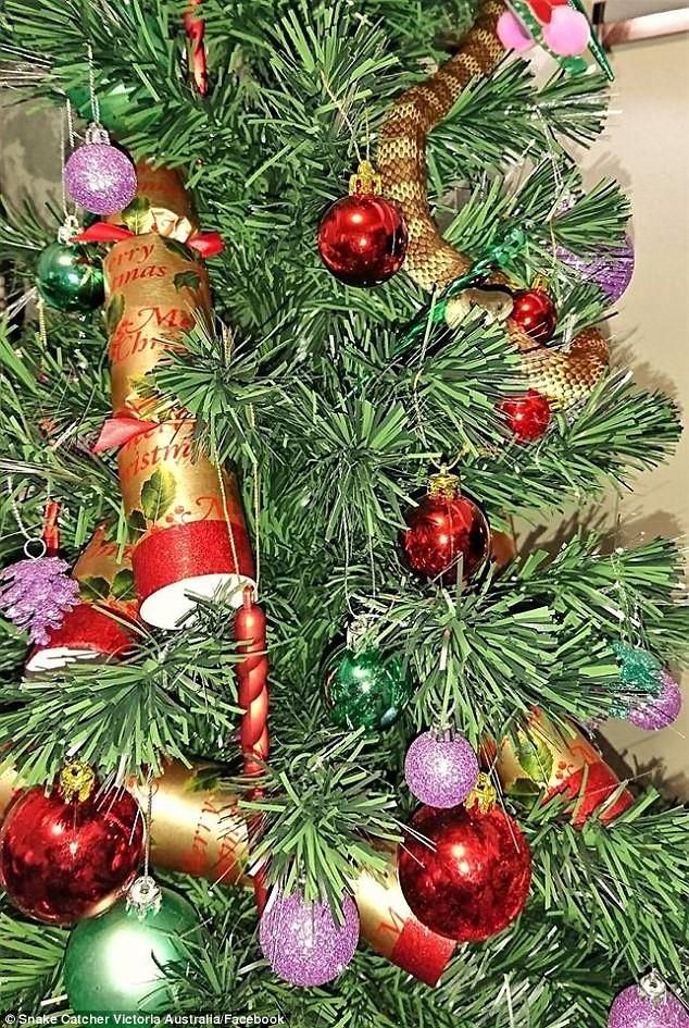 Đứng tim phát hiện rắn hổ quấn quanh cây thông Noel - ảnh 1