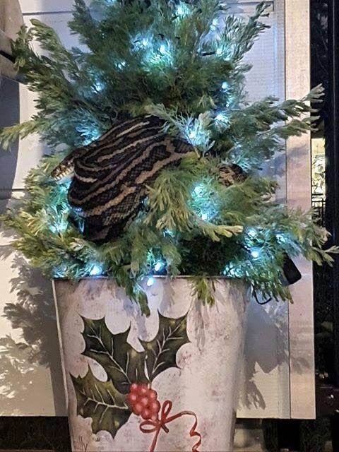 Thất kinh phát hiện trăn dài 3m quấn quanh cây thông Noel - ảnh 2