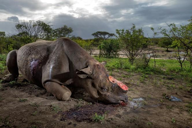 sừng tê giác giả săn trộm buôn bán động vật hoang dã - ảnh 1