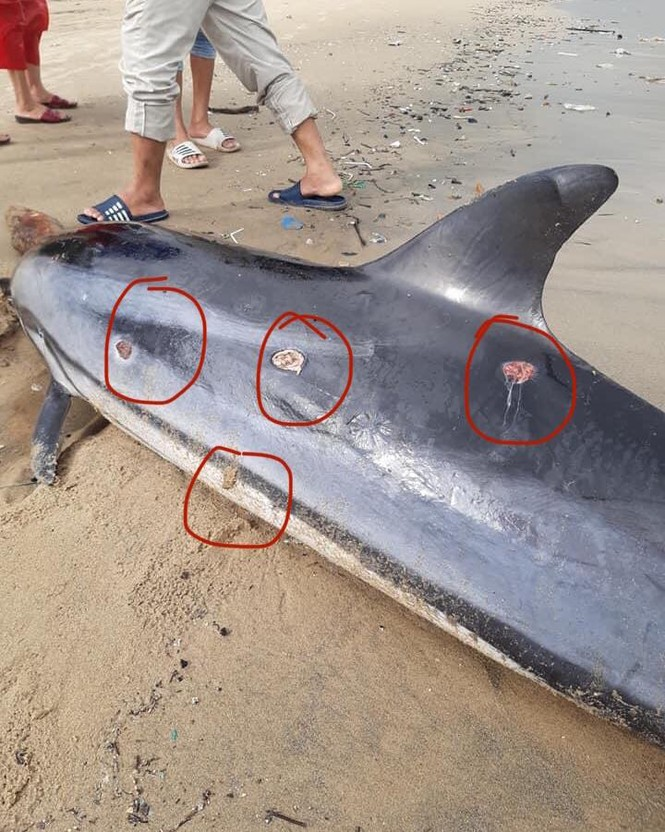 Đà Nẵng: Phát hiện xác một cá thể cá heo dạt vào bờ biển - ảnh 2