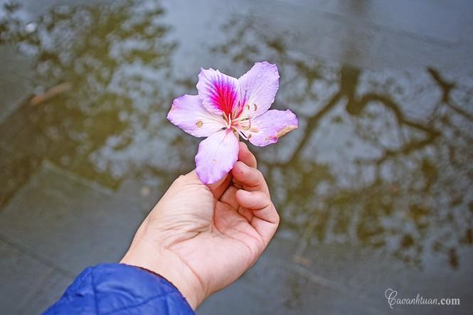 Hà Nội phố: Chiêm ngưỡng con đường hoa ban đẹp đến nao lòng giữa Thủ Đô đầu Xuân mới - ảnh 1