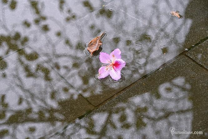 Hà Nội phố: Chiêm ngưỡng con đường hoa ban đẹp đến nao lòng giữa Thủ Đô đầu Xuân mới - ảnh 2