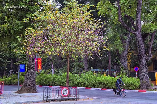 Hà Nội phố: Chiêm ngưỡng con đường hoa ban đẹp đến nao lòng giữa Thủ Đô đầu Xuân mới - ảnh 4