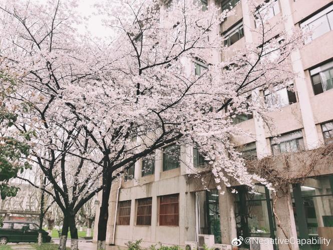 """Xôn xao trước """"lớp học hoa anh đào"""" tại trường Đại học Đông Nam, Trung Quốc - ảnh 1"""