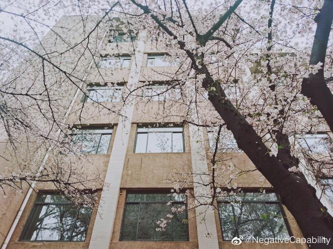 """Xôn xao trước """"lớp học hoa anh đào"""" tại trường Đại học Đông Nam, Trung Quốc - ảnh 2"""