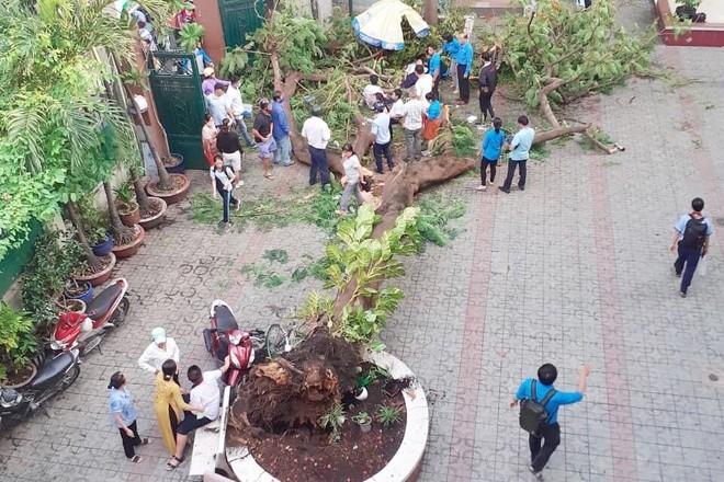 Toàn cảnh vụ cây phượng bật gốc đè vào người học sinh gây thương vong tại trường Bạch Đằng - ảnh 3
