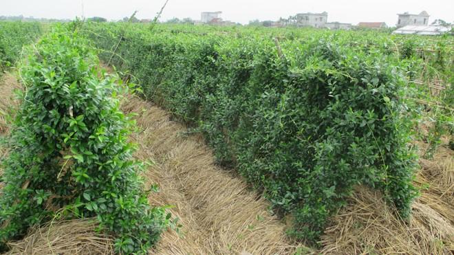 Việt Nam trồng thành công dược liệu quý chữa Tiểu đường - ảnh 1