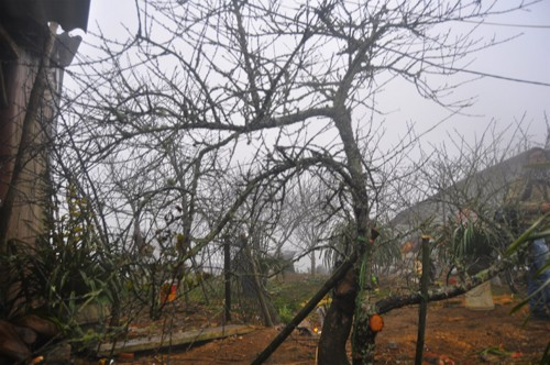 Đào rừng cổ thụ giá chục triệu đồng - ảnh 10