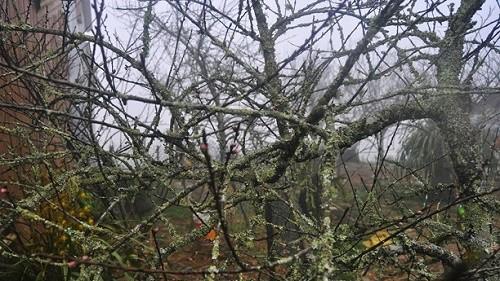 Đào rừng cổ thụ giá chục triệu đồng - ảnh 12