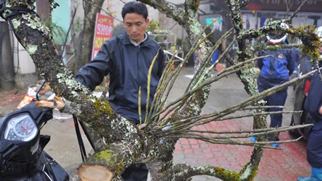 Đào rừng cổ thụ giá chục triệu đồng - ảnh 3