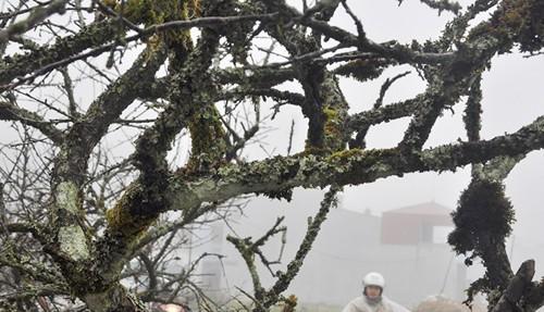 Đào rừng cổ thụ giá chục triệu đồng - ảnh 5