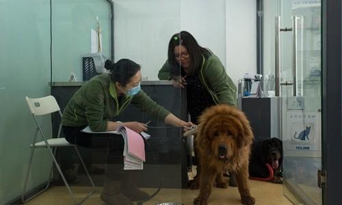 Chó ngao Tây Tạng hết thời, bị đưa vào lò mổ - ảnh 1