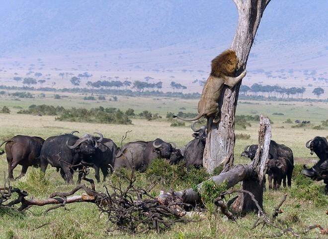 Sửng sốt chứng kiến sư tử leo cây trốn đàn trâu hung dữ - ảnh 1