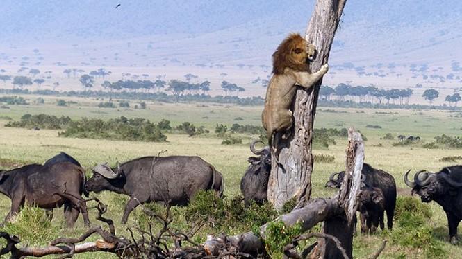 Sửng sốt chứng kiến sư tử leo cây trốn đàn trâu hung dữ - ảnh 2
