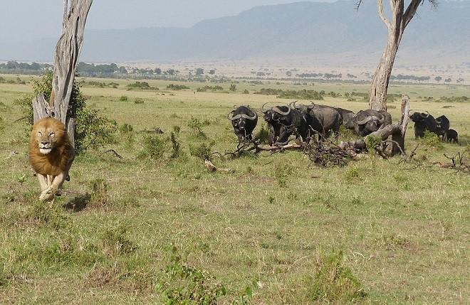 Sửng sốt chứng kiến sư tử leo cây trốn đàn trâu hung dữ - ảnh 4