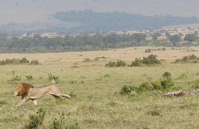 Sửng sốt chứng kiến sư tử leo cây trốn đàn trâu hung dữ - ảnh 5