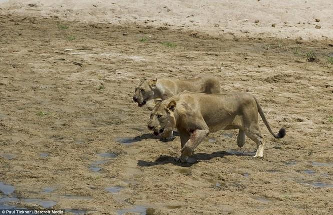 Voi con chết thảm khi lọt vòng vây của sư tử đói - ảnh 2
