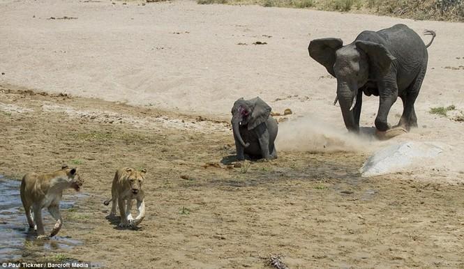 Voi con chết thảm khi lọt vòng vây của sư tử đói - ảnh 3