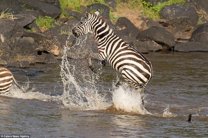 Mục kích cá sấu và báo đốm bao vây, truy sát ngựa vằn - ảnh 2