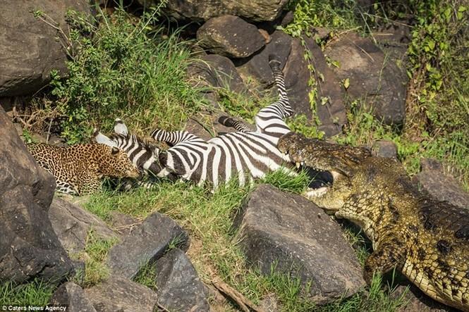 Mục kích cá sấu và báo đốm bao vây, truy sát ngựa vằn - ảnh 7